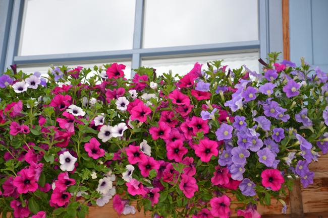 Balkonblumen Gartnerei Florian Schenk